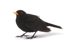 amsel clipart 3