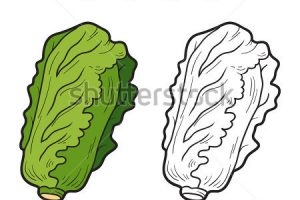chinese cabbage clipart 12