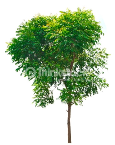 Neem Tree Clipart 11 Clipart Station