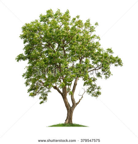 Neem tree clipart 2 » Clipart Station