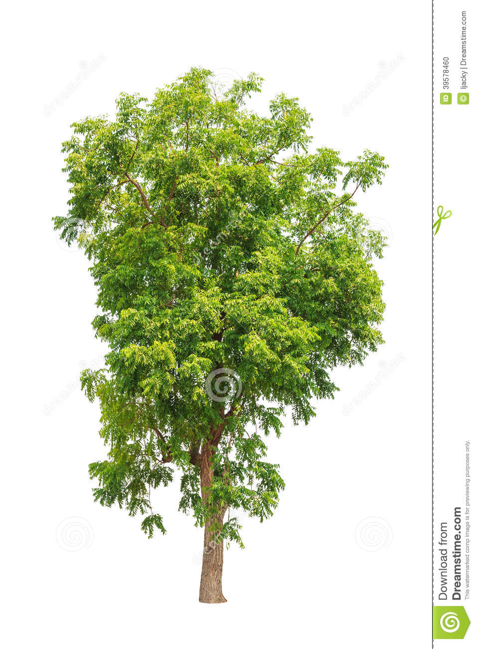 Neem Tree Clipart 6 Clipart Station