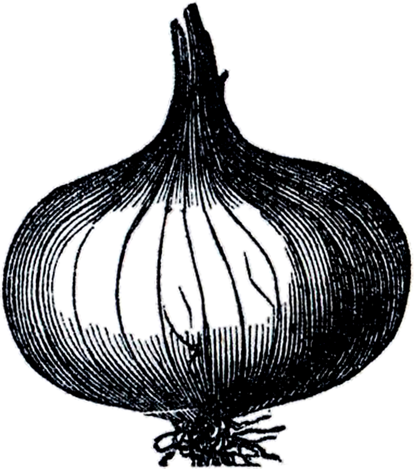 Onion clipart black and white 7 » Clipart Station