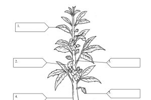 Parts of a plant clipart black and white 5 » Clipart Station