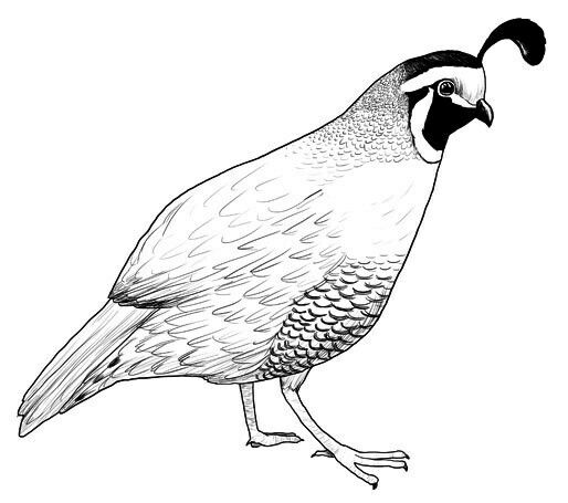 quail clipart black and white how to format cover letter