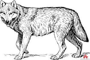 wolf clipart black and white 3