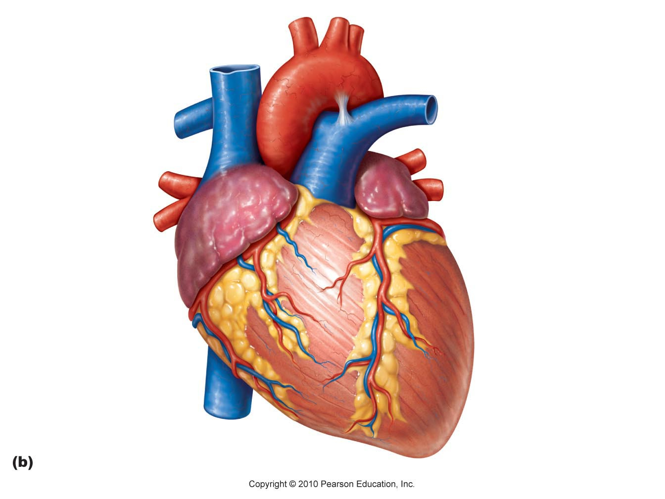 Heart real. Pictures of human clipart